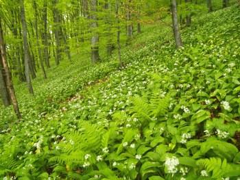 Bärlauch (Allium ursinum) - Foto: Vrachanski Balkan Naturpark