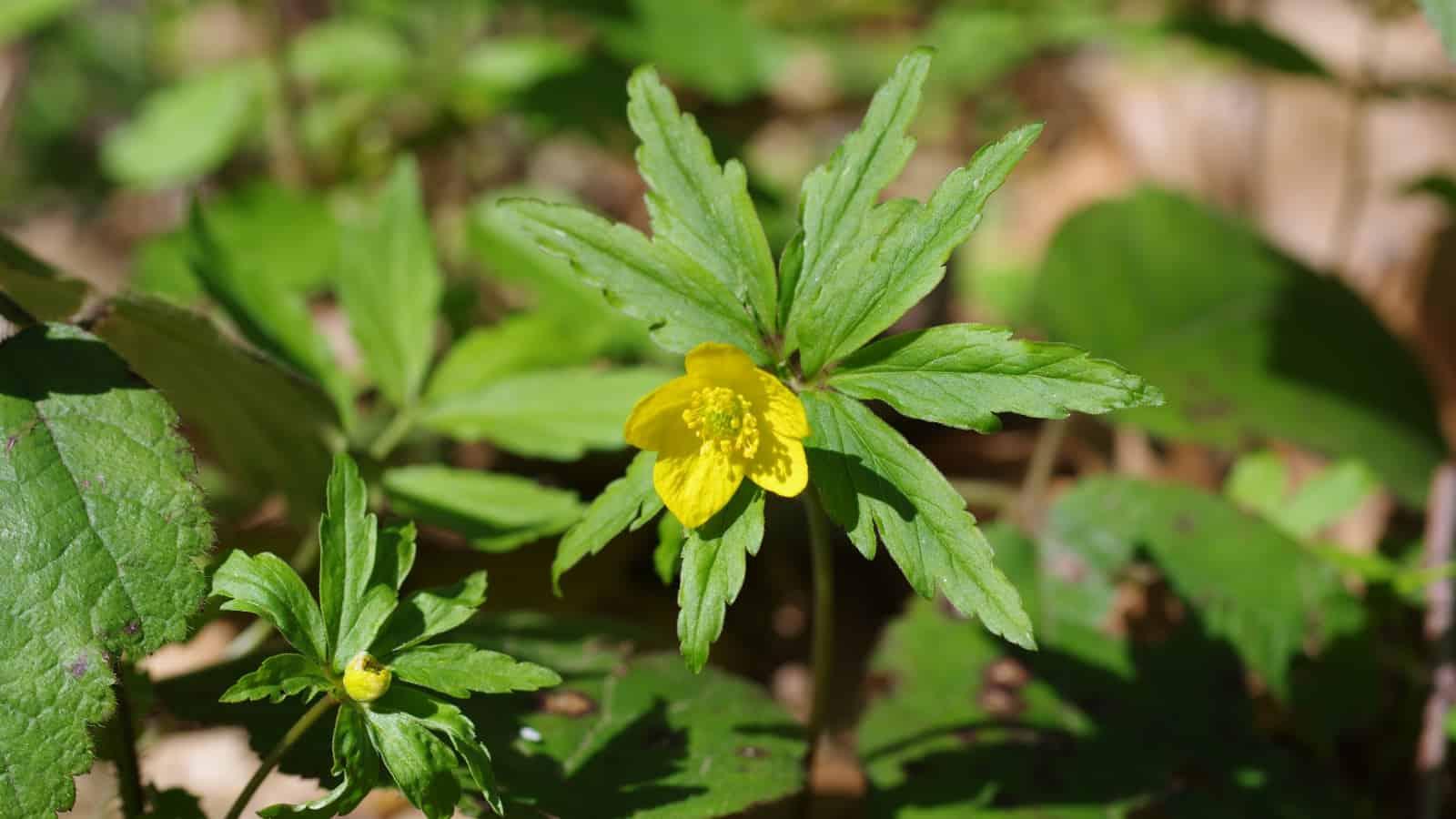 Gelbes Windröschen (Anemone ranuculoides) - Foto: Belasitsa Naturpark