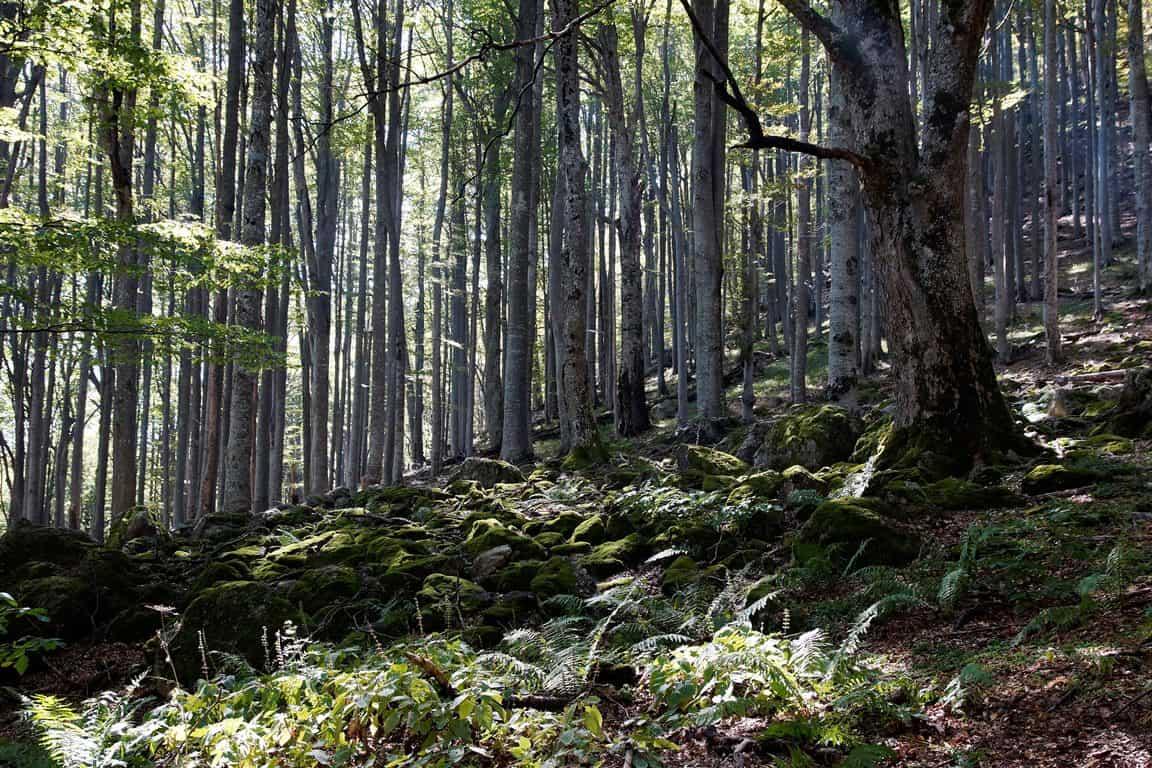 Buchenwald im Naturresservat Dzhendema - Foto: Nationalpark Zentralbalkan