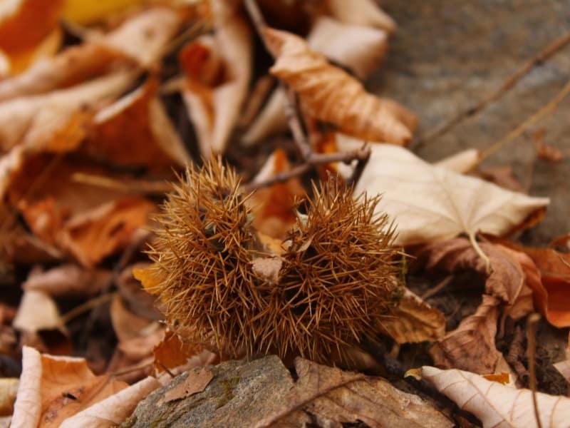 Frucht der Esskastanie (Castanea sativa) - Foto: Belasitsa Naturpark/Ilia Kochev Levkov