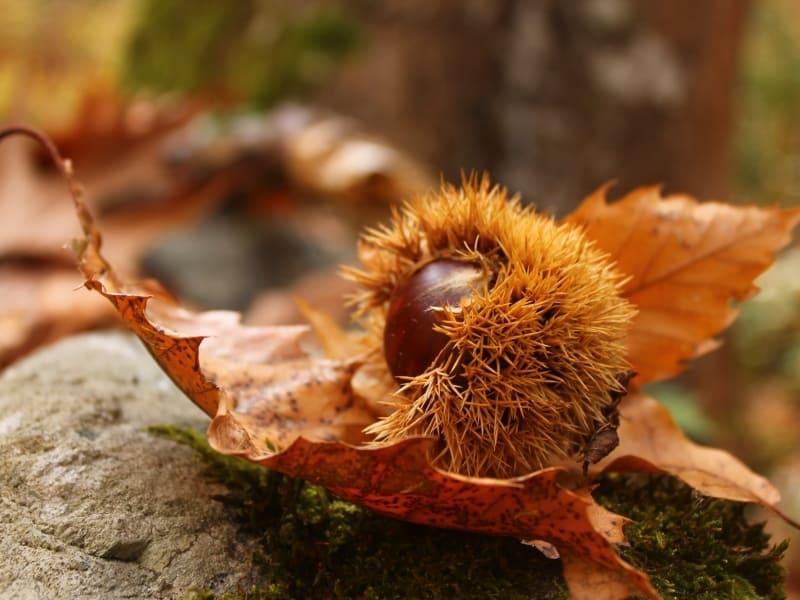 Frucht der Esskastanie (Castanea sativa) (Castanea sativa) - Foto: Belasitsa Naturpark/Ilia Kochev Levkov