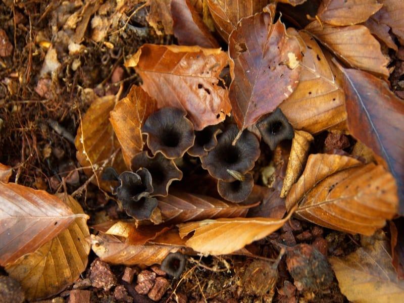 Herbsttrompete, Totentrichterling (Craterellus cornucopioides) - Foto: Vrachanski Balkan Naturpark