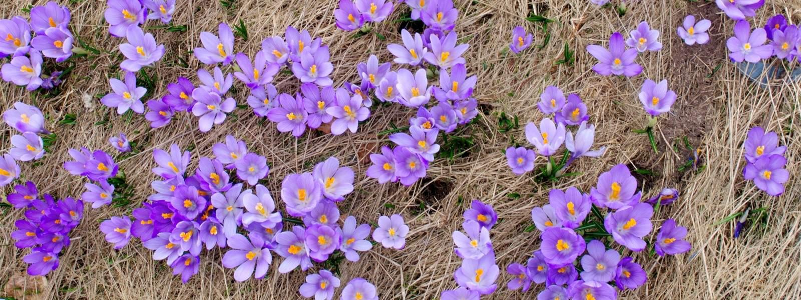 Krokusse im Frühjahr im Vrachanski Balkan Naturpark - Foto: Krasimir Lakovski