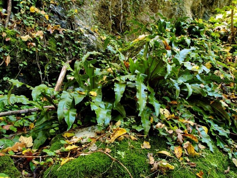 Hirschzungenfarn (Asplenium scolopendrium) - Foto: Vrachanski Balkan Naturpark