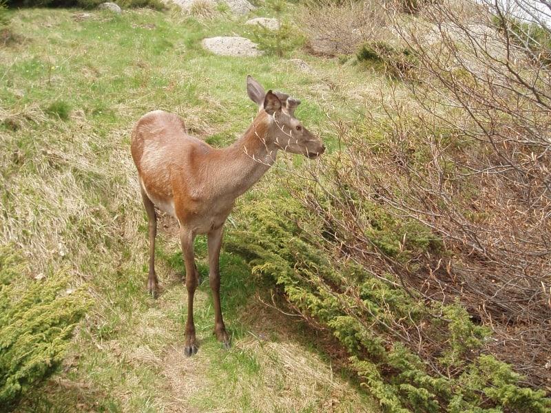 Rotwild - Foto: Vitosha Naturpark