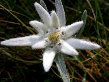 Edelweiss (Leontopodium alpinum Cass.) - Foto: Nationalpark Zentrales Balkangebirge