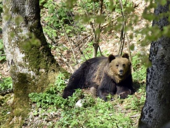 Europäsicher Braunbär (Ursus arctos arctos) - Foto: Nationalpark Zentrales Balkangebirge