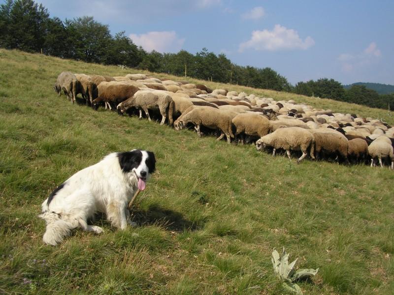 Schafherde mit Hund- Foto: Nationalpark Zentralbalkan/Stoyan Hristov