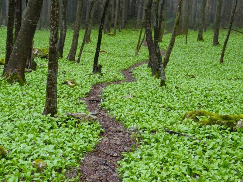 Grüner Teppich aus Bärlauch (Allium ursinum) - Foto: Naturpark Vachranski Balkan/Krasimir Lakovski