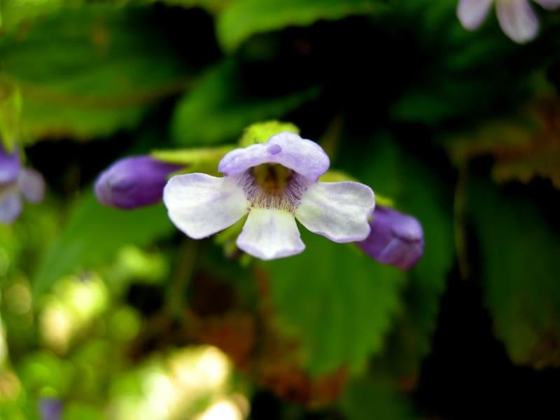 Haberlea rhodopensis Friv. - Foto: Nationalpark Zentrales Balkangebirge