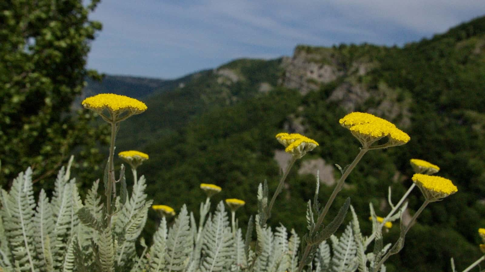 Schafgarbe Achillea clypeolata, endemisch auf der Balkanhalbinsel - Foto: Naturpark Vachranski Balkan/Krasimir Lakovski