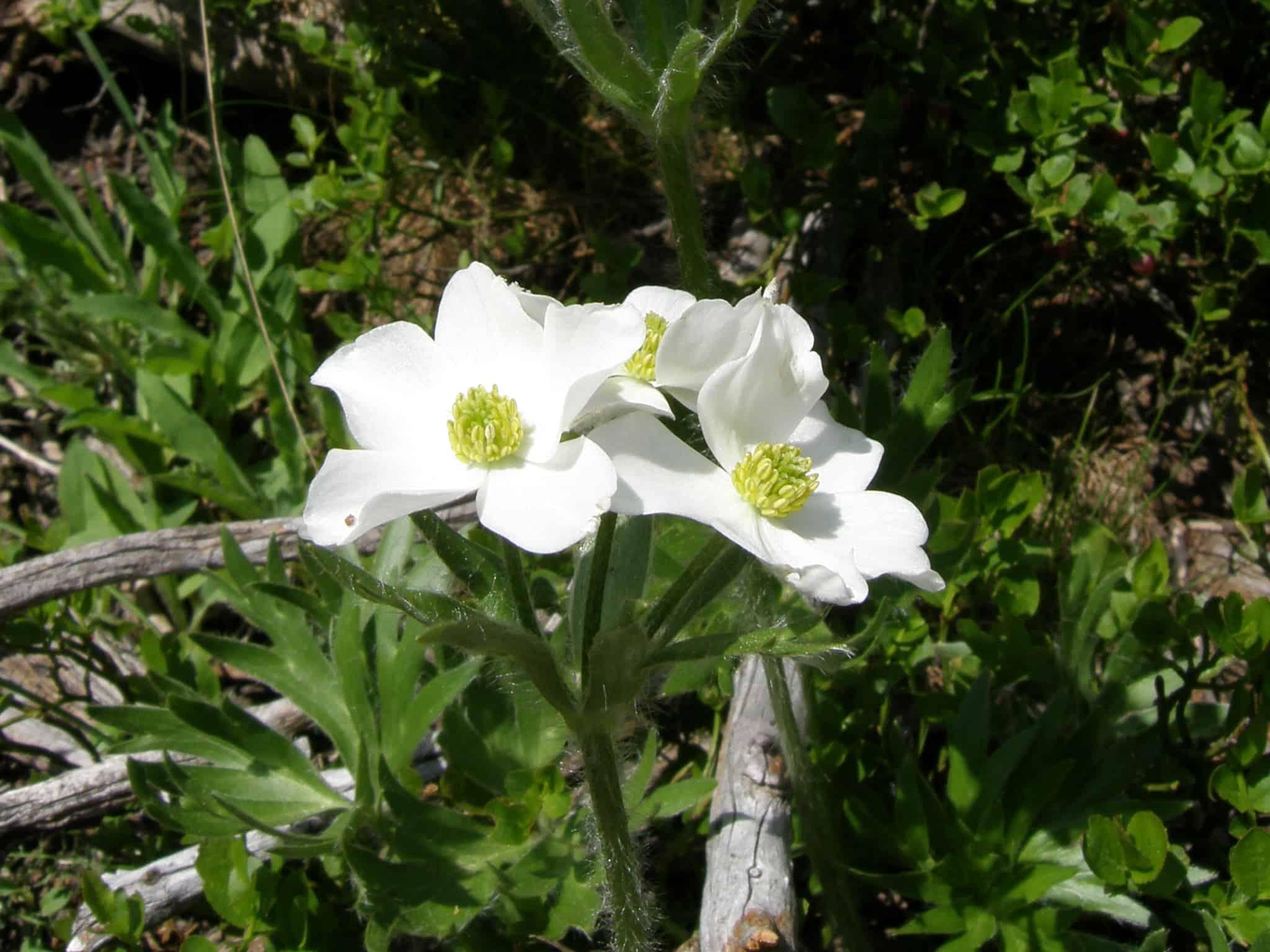 Narzissen-Windröschen - narcissus anemone - anemone narcissiflora - нарцисовидна съсънка - Foto: Rila Monastery Park Directorate