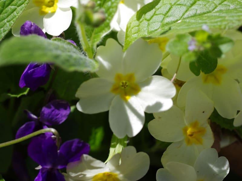 Stängellose Schlüsselblume, Schaftlose Schlüsselblume, Erd-Primel (Primula acaulis) - Foto: Belasitsa Naturpark
