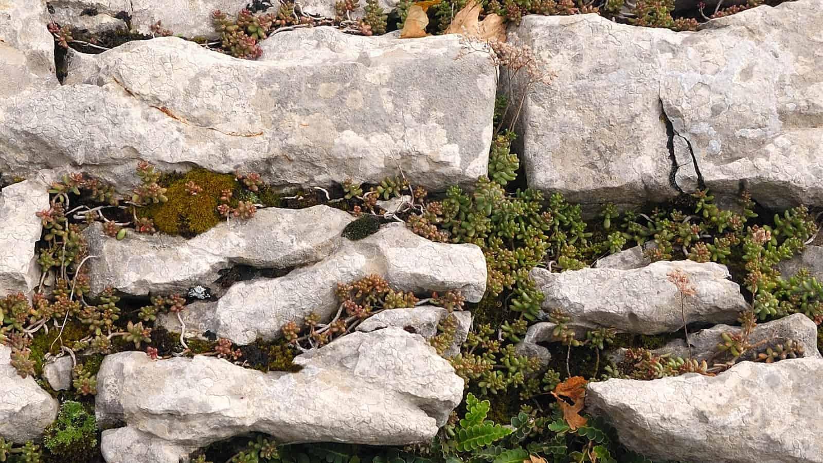Milzfarn, Schriftfarn, Apothekerfarn (Asplenium ceterach) und weiße Fetthenne (Sedum album) in Kalkstein-Grikes - Foto: Naturpark Vachranski Balkan/Krasimir Lakovski