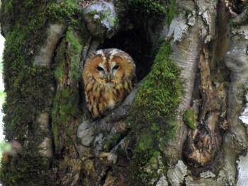 Waldkauz (Strix aluco) - Foto: Nationalpark Zentrales Balkangebirge