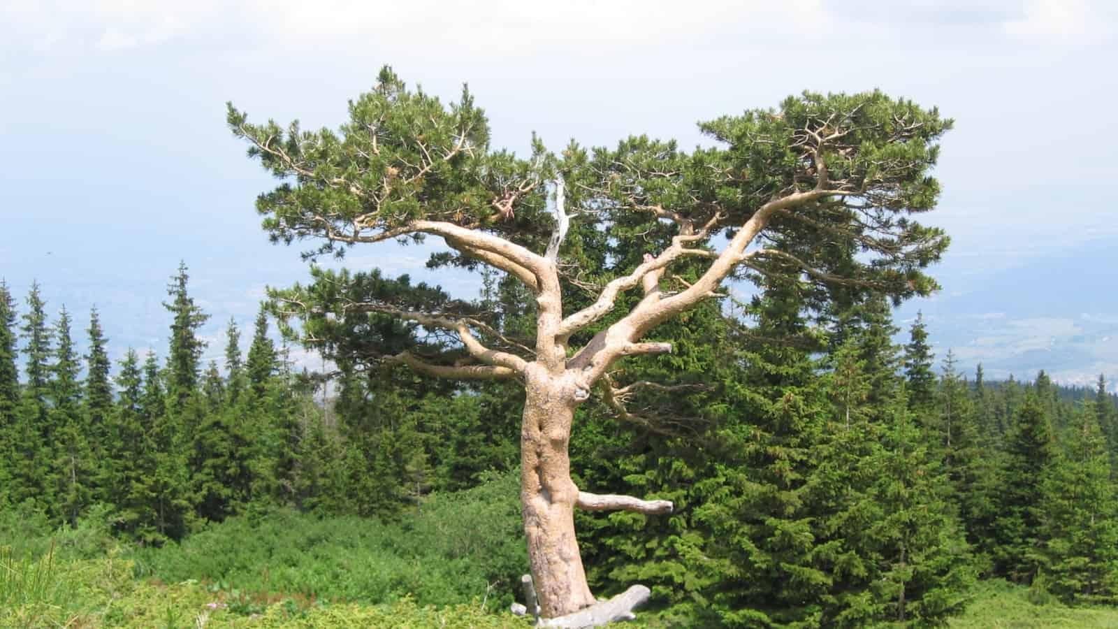 Der berühmteste Baum im Vitosha Naturpark - Foto: Vitosha Naturpark