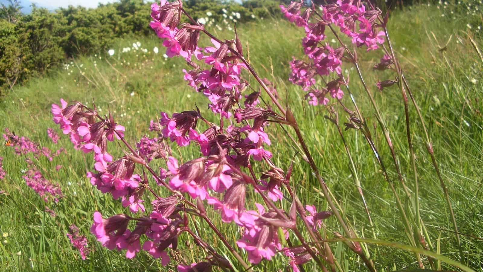 Gewöhnliche Pechnelke (Viscaria vulgaris/Silene viscaria) - Foto: Nationalpark Zentralbalkan/Stoyan Hristov